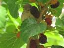 Looking for berries 4 by bulbulov