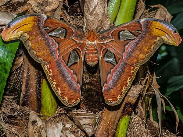 Atlas Moth by StrayCat