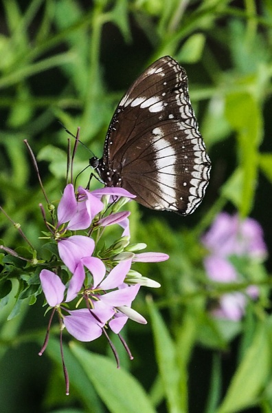 Greater Eggfly by StrayCat