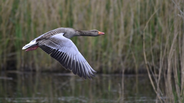 Greylag in Flight by tony_hoops