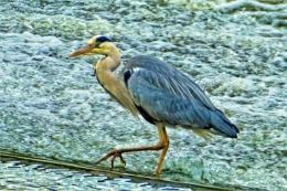 Chester heron