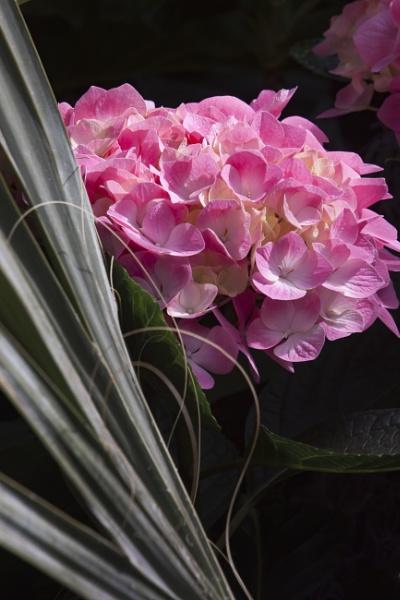 Pink Flower by manicam