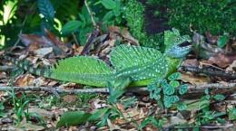 Emerald Basilisk Lizard & Beetle, Costa Rica