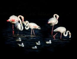 Adult & Junior Flamingos