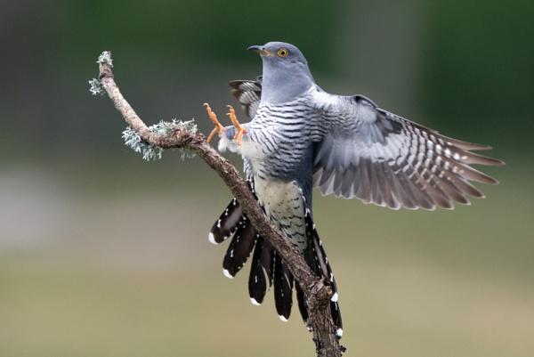 Cuckoo. by stu8fish