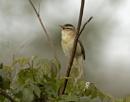 Sedge Warbler (1) 2017 by ade123
