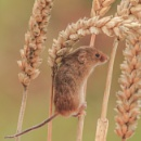 A Harvest Mouse by RobertTurley