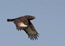 Long Crested Eagle. (in flight) by johnke