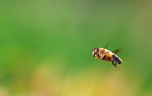 Hoverfly by turniptowers