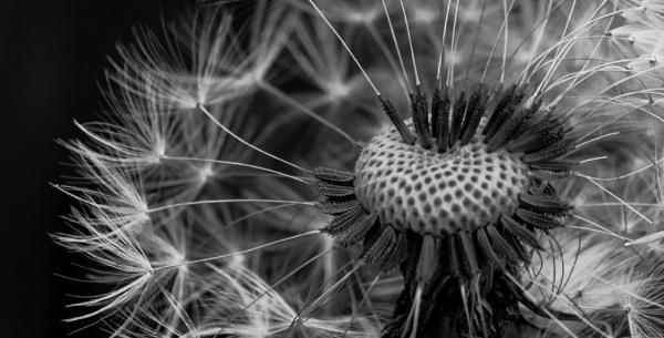 Dandelion by Danny1970