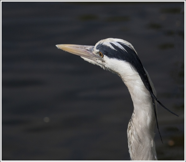 Heron (Male) by BobDraper