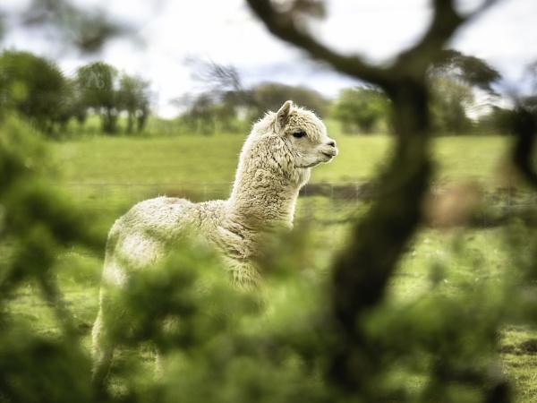 Alpaca by TrotterFechan
