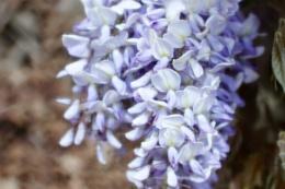 wisteria flowers.