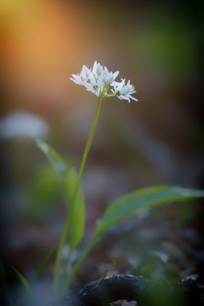 Lonely Wild Garlic by jarvasm