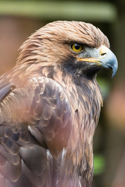Tawny Eagle by yoda