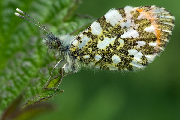 Orange Tip by Halgiver