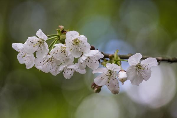 Blossum by grahammooreuk