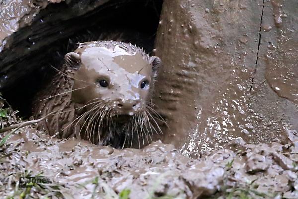 Otter by cjones