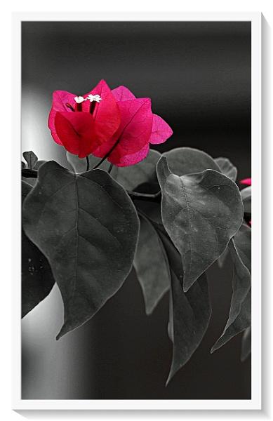 Flower by ashokynk