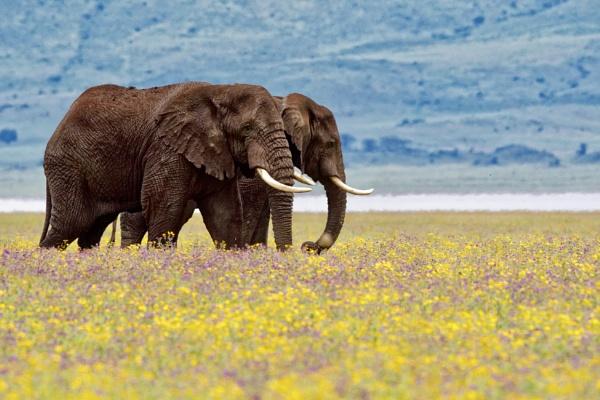 Elephants. Ngorongoro, Tanzania by Zeevkirshenboim