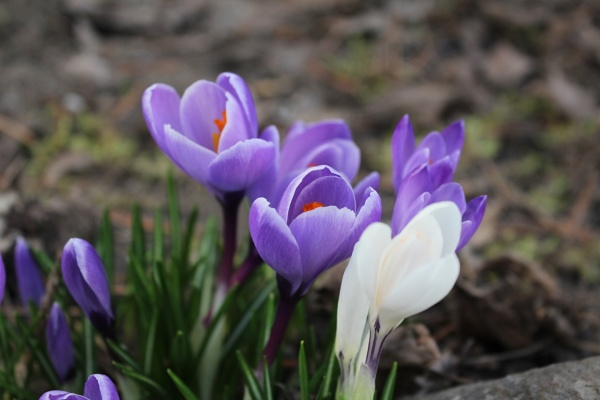 Crocus, Our first this spring by jarnold555