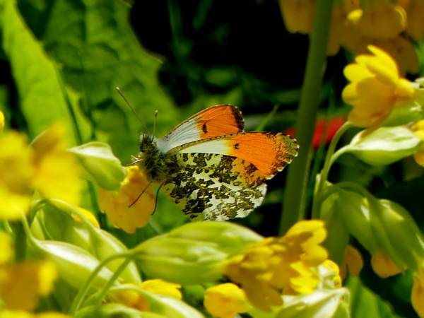 Orange Tip butterfly by ThePixelator