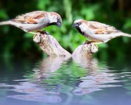 """""""Jack's Sparrows""""."""