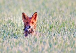 Breakfast for fox