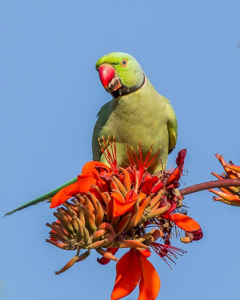 Parrot on flower by SudamB