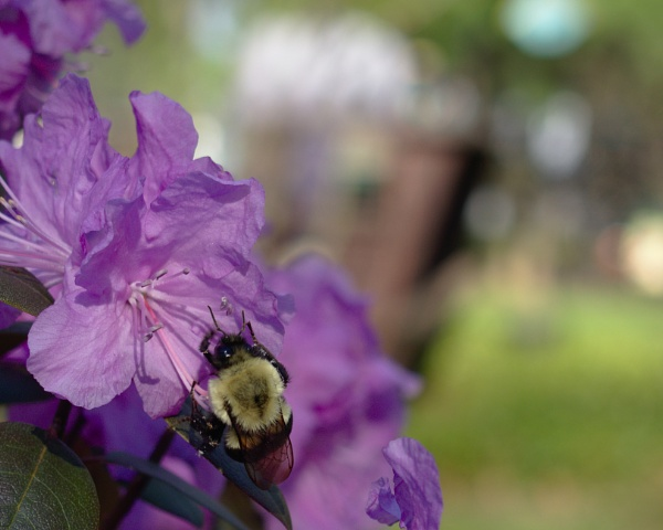 Bumble bee on purple flower by cprofitt