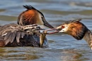 Great Crested Grebe (Podiceps cristatus) feeding young by DerekL