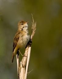 Reed warbler 2