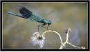 Banded demoiselle by dven