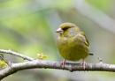 Green Finch by razer