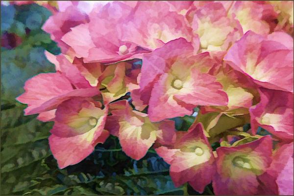 Hydrangea by Joline