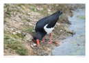 Oyster Catcher by running_man