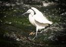 Little Egret by Trev_B