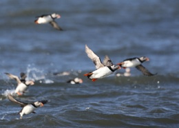 Puffins around Coquet Island, Northumberland