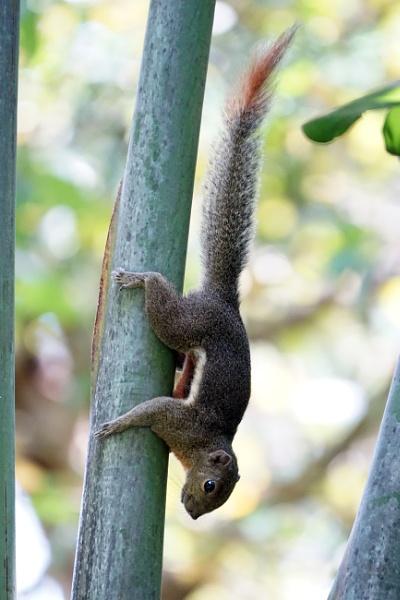 Plantain Squirrel by Silverzone