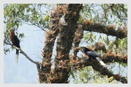 Rufous-billed Hornbill pair