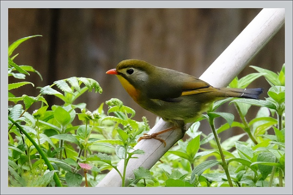 Red billed Leiothrix by prabhusinha
