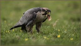 peregrine falcon eatting