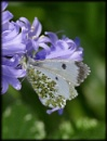 Orange Tip butterfly, female. by HobbitDave