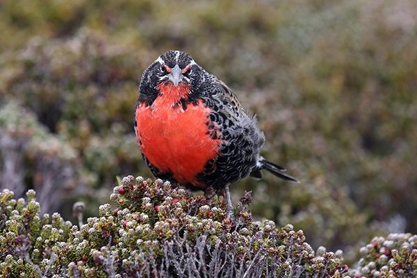 South Atlantic Meadowlark by C7