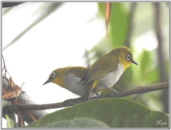Love Birds by RajaSidambaram