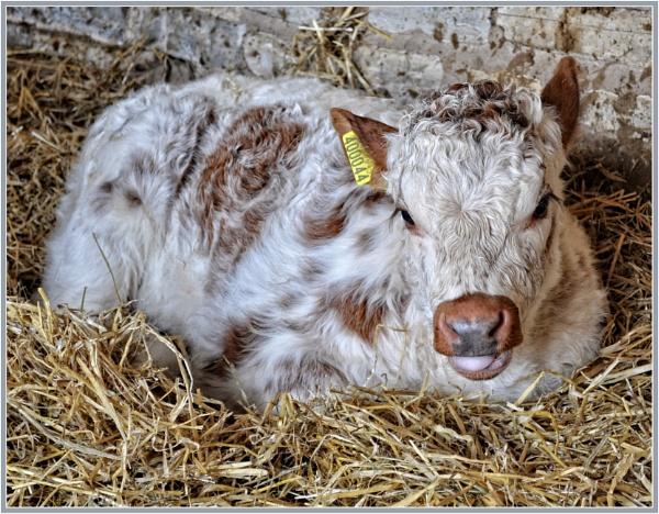 English Longhorn Calf by PhilT2