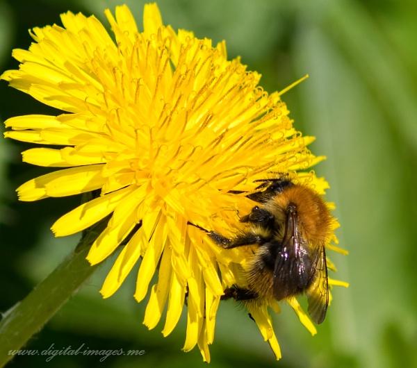 Bee on a Dandelion by Alan_Baseley