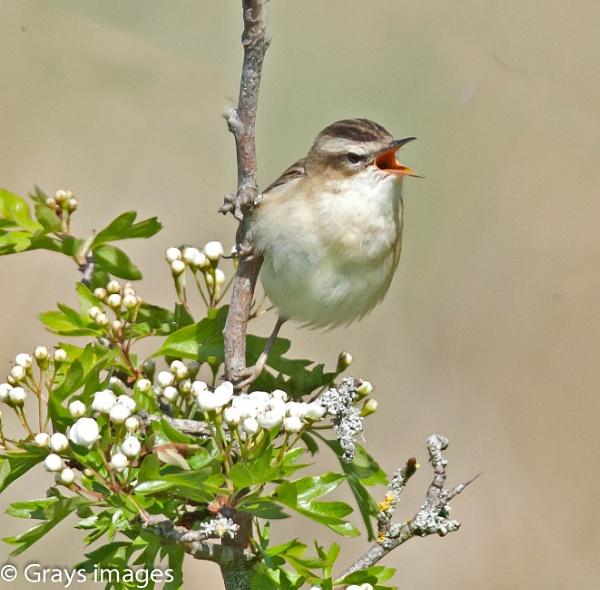 Sedge Warbler by p147180r