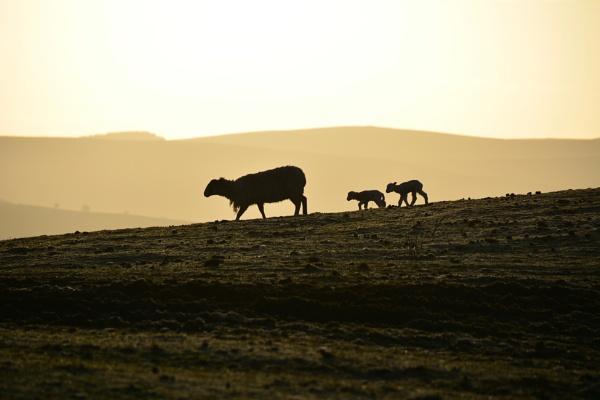 Lambs by eeffbee