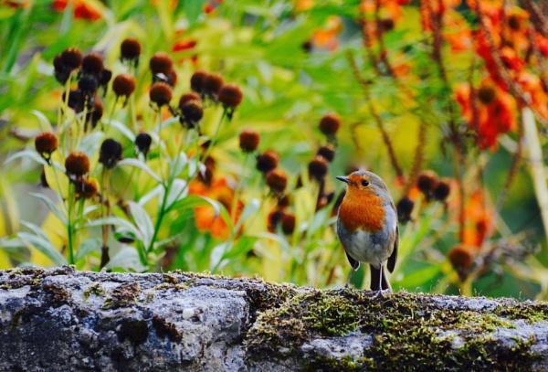 Robin by eeffbee